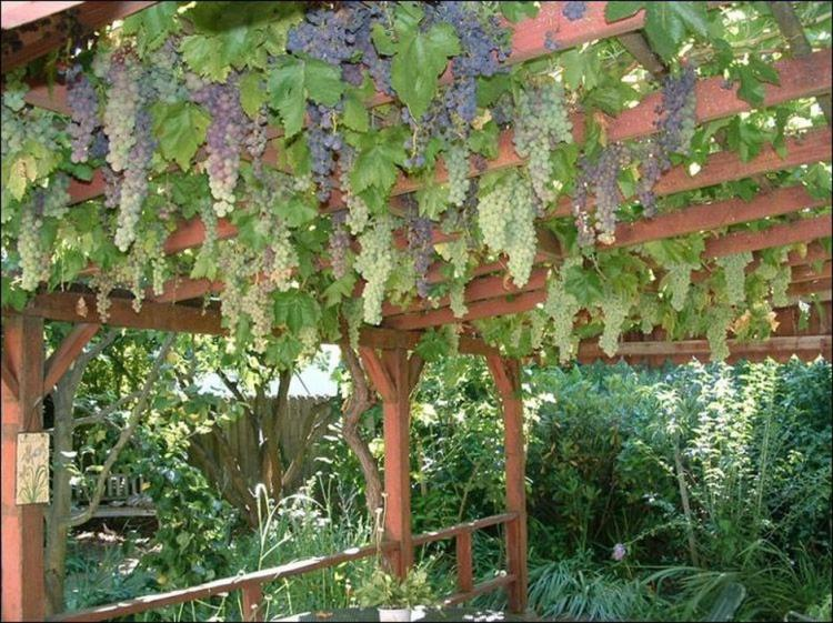 20+ Creative Tips To Growing Grape In Your Home Backyard Ideas
